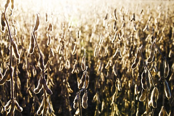 report confusing negative numbers not killing soybeans ohio ag