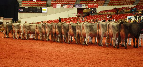 cows-lined-up-in-show-ring – Ohio Ag Net | Ohio's Country