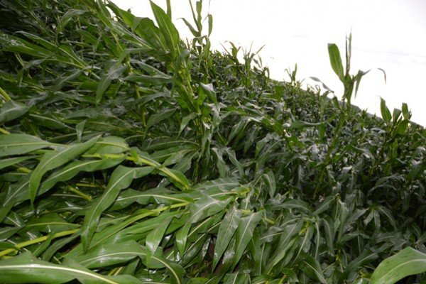 Stalk rot and root lodging plaguing corn this fall – Ohio Ag Net