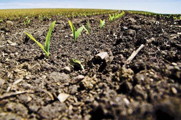 Corn Germination And Emergence Processes Ohio Ag Net