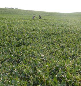 Allen Co. bean field
