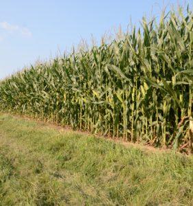 Allen Co. corn field