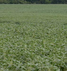 Darke Co. bean field