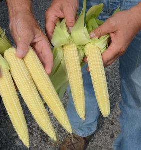 Fulton Co. corn