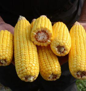 Hancock Co. corn