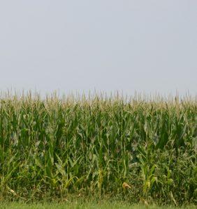 Henry Co. corn field