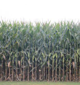Putnam Co. corn field