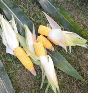 Putnam corn
