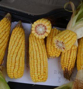 Van Wert Co. corn