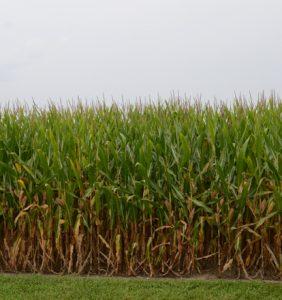 Van Wert Co. corn field
