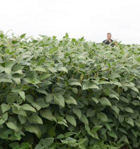 Van Wert Co. soybean field