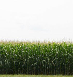 Williams Co. corn field