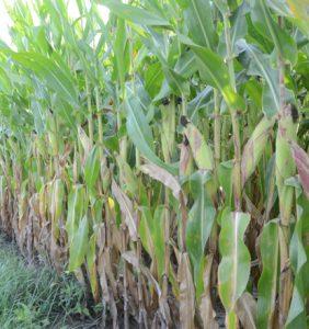 Wood Co. corn field